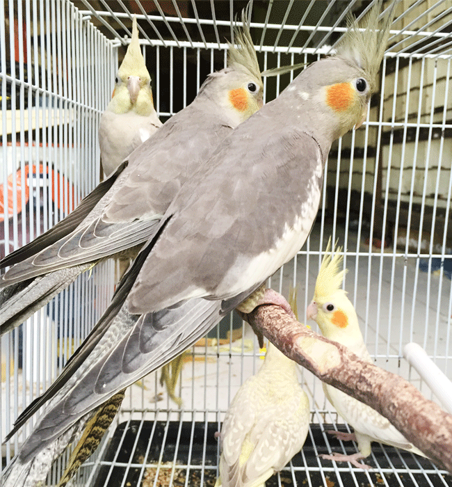Parkit Falk  Cockatiel Grey